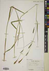 Carex laevigata herbarium specimen from Ord, VC104 North Ebudes in 1952 by Mr Robert MacKechnie.