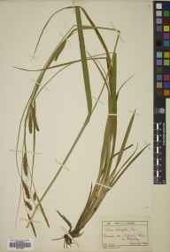Carex laevigata herbarium specimen from Cuttinglye Wood, VC14 East Sussex in 1896 by Mr Charles Edgar Salmon.