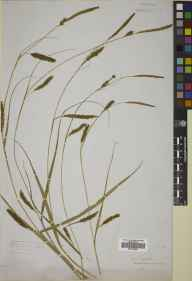 Carex laevigata herbarium specimen from Belford Moor, VC68 North Northumberland in 1880.