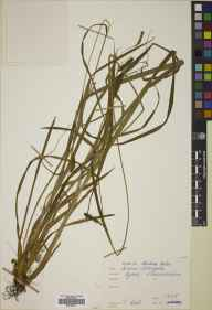 Carex laevigata herbarium specimen from Rydal, VC69 Westmorland in 1838 by John Ball.