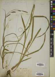 Carex punctata herbarium specimen from Powerscourt, VCH20 Co. Wicklow by David Moore.