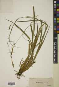 Carex laevigata herbarium specimen from Glendalough, VCH20 Co. Wicklow in 1847 by John Ball.