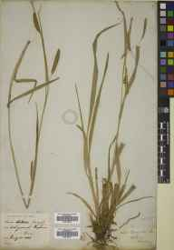 Carex laevigata herbarium specimen from Antrim, VCH39 Co. Antrim in 1838 by Sir William Jackson Hooker.