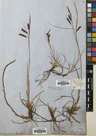 Carex flacca herbarium specimen from Dunfermline, VC85 Fifeshire in 1858 by Patrick Neill Fraser.