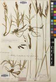 Carex flacca herbarium specimen from Matlock, VC57 Derbyshire in 1818 by Francis Boott.