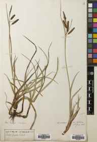 Carex flacca herbarium specimen from Roundstone, VCH16 West Galway in 1903.