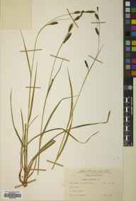 Carex binervis herbarium specimen from Badninish, VC107 East Sutherland in 1962 by John Anthony.