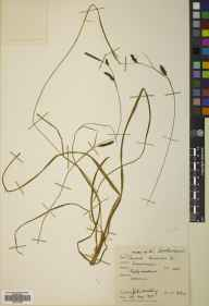 Carex binervis herbarium specimen from Invernaver, VC108 West Sutherland in 1957 by John Anthony.