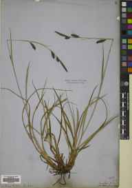 Carex binervis herbarium specimen from Tynehead, VC83 Midlothian in 1858 by Patrick Neill Fraser.