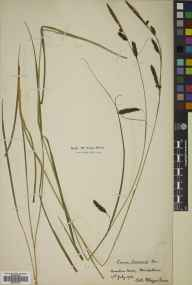 Carex binervis herbarium specimen from Bavelaw, VC83 Midlothian in 1902 by William Edgar Evans.
