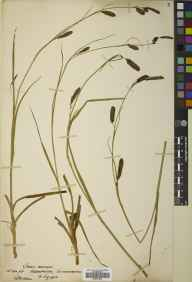 Carex binervis herbarium specimen from Aberarder, VC96 East Inverness-shire in 1930 by Robert Moyes Adam.