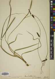 Carex binervis herbarium specimen from New Galloway, VC73 Kirkcudbrightshire in 1907 by J M A.