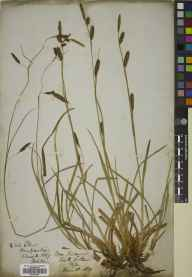 Carex binervis herbarium specimen from North Lethans, VC85 Fifeshire in 1839.