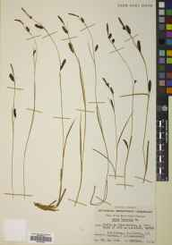 Carex binervis herbarium specimen from Beinn Eighe, Coille na Glas-leitire, VC105 West Ross & Cromarty in 1952 by J T Forrest.