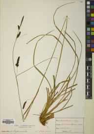 Carex binervis herbarium specimen from Tormore, VC100 Clyde Islands in 1894 by Mr Alexander Somerville.