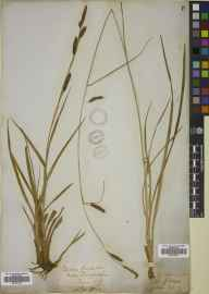 Carex binervis herbarium specimen from Dunfermline, VC85 Fifeshire in 1859 by Andrew Howden Balfour.