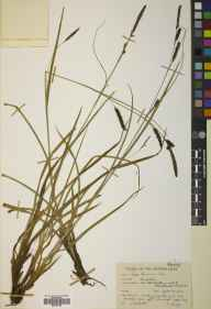 Carex binervis herbarium specimen from Blackwater, VC12 North Hampshire in 1950 by Brian Lawrence Burtt.