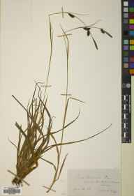 Carex binervis herbarium specimen from Wimbledon Common, VC17 Surrey in 1880 by Dr Eyre Champion de Crespigny.