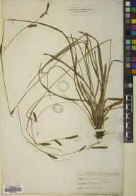 Carex binervis herbarium specimen from Northaw, VC20 Hertfordshire in 1896 by Mr Thomas Bates Blow.