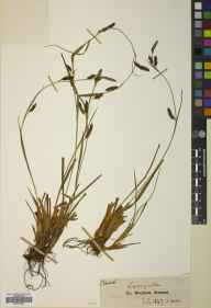 Carex binervis herbarium specimen from Lugnaquillia Mountain, VCH20 Co. Wicklow in 1847 by John Ball.