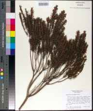Ceratiola ericoides herbarium specimen from Lake Harris, Lake County in 1979 by Kent D Perkins.