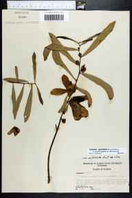 Asimina longifolia var. spatulata herbarium specimen from Carrabelle, Franklin County in 1957 by Robert Kral.