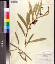Asimina longifolia var. spatulata herbarium specimen from Holmes County in 1956 by Robert Kral.