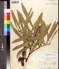 Asimina longifolia var. spatulata herbarium specimen from Liberty County in 1957 by Robert K Godfrey.