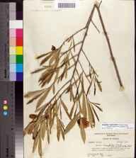 Asimina longifolia var. spatulata herbarium specimen from Greenville, Madison County in 1956 by Robert Kral.