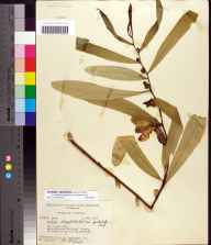 Asimina longifolia var. spatulata herbarium specimen from Apalachicola National Forest, Leon County in 1955 by Paul L Redfearn.