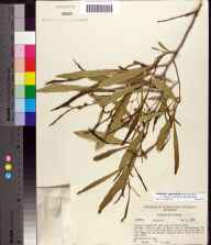 Asimina longifolia var. spatulata herbarium specimen from Tallahassee, Jefferson County in 1957 by Robert Kral.