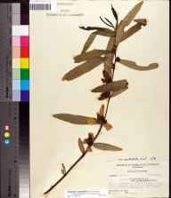Asimina longifolia var. spatulata herbarium specimen from Eastpoint, Franklin County in 1956 by Robert Kral.