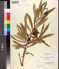 Asimina longifolia var. spatulata herbarium specimen from Tallahassee, Leon County in 1956 by Robert Kral.