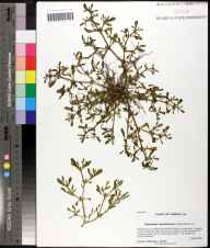 Sesuvium maritimum herbarium specimen from Saint Marks National Wildlife Refuge, Wakulla County in 2009 by Prof. Loran C Anderson.