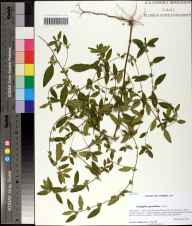 Acalypha gracilens herbarium specimen from Bear Creek Educational Forest, Gadsden County in 2010 by Prof. Loran C Anderson.