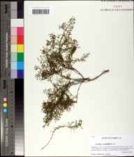 Lechea sessiliflora herbarium specimen from Bear Creek Educational Forest, Gadsden County in 2010 by Prof. Loran C Anderson.