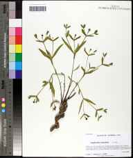 Euphorbia inundata herbarium specimen from Saint Marks National Wildlife Refug, Wakulla County in 2008 by Prof. Loran C Anderson.