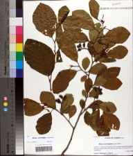 Alnus serrulata herbarium specimen from Harvey Creek, Leon County in 2009 by Prof. Loran C Anderson.
