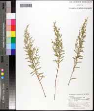 Helianthemum polifolium herbarium specimen from Blountstown, Calhoun County in 2008 by Travis MacClendon.