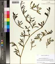 Sesuvium portulacastrum herbarium specimen from Florida State University Coastal Marine Lab, Franklin County in 2009 by Prof. Loran C Anderson.