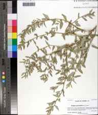 Atriplex pentandra herbarium specimen from Florida State University Coastal Marine Lab, Franklin County in 2009 by Prof. Loran C Anderson.