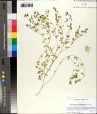 Chamaesyce bombensis herbarium specimen from Carrabelle Beach, Franklin County in 2009 by Prof. Loran C Anderson.