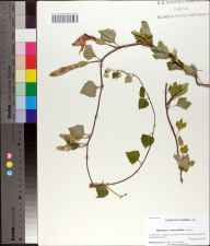 Ipomoea macrorhiza herbarium specimen from Hill Farm Road, Jackson County in 2010 by A.K. Gholson.