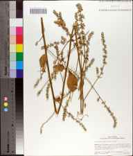 Iresine diffusa herbarium specimen from Lake Mabel, Polk County in 2006 by Cecil R Slaughter.