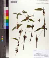 Cuscuta gronovii herbarium specimen from Elinor Knapp-Phipps Park, Leon County in 2011 by Prof. Loran C Anderson.