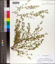 Chamaesyce cordifolia herbarium specimen from Wetumpka, Gadsden County in 2011 by Prof. Loran C Anderson.