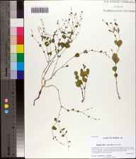 Euphorbia exserta herbarium specimen from Bear Creek Educational Forest, Gadsden County in 2011 by Prof. Loran C Anderson.