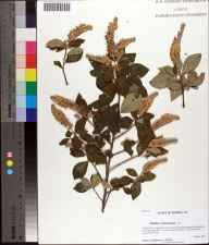 Clethra tomentosa herbarium specimen from Hosford, Liberty County in 2011 by Prof. Loran C Anderson.