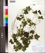 Melothria pendula herbarium specimen from Anastasia State Recreational area E. of AIA, St. Johns County in 2008 by Cecil R Slaughter.