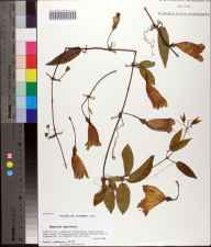 Bignonia capreolata herbarium specimen from Saint Marks National Wildlife Refuge, Wakulla County in 2008 by Prof. Loran C Anderson.